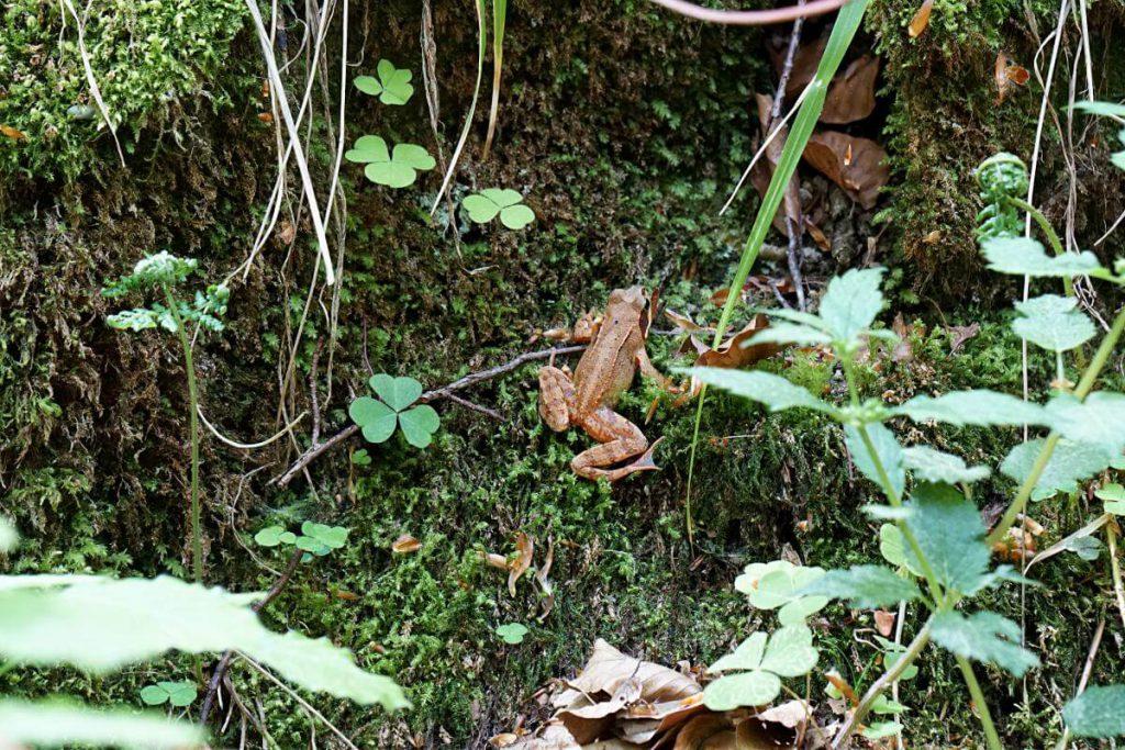 Frosch in der Kalksklinge im Mainhardter Wald bei Untersteinbach