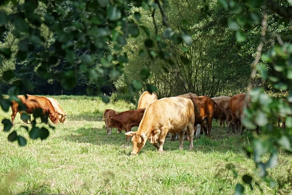 Rinder bei der Menzlesmuehle