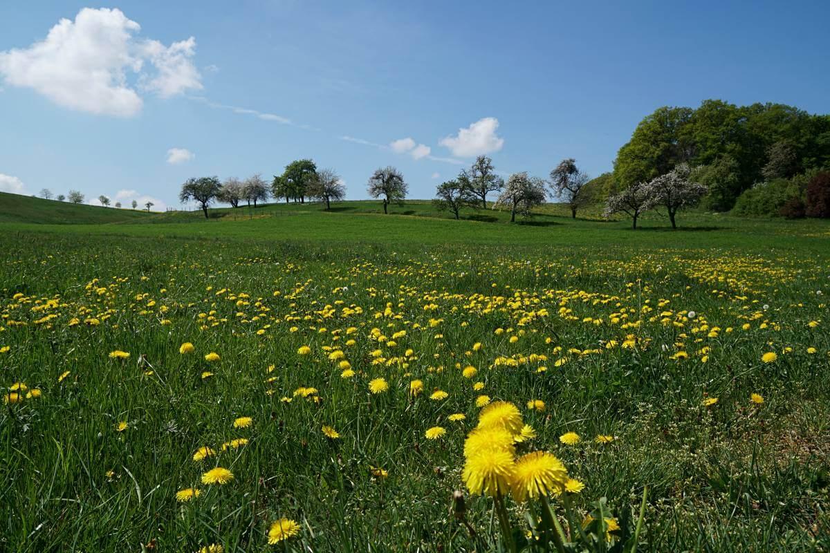 Wiese in Hohenlohe bei Pfedelbach