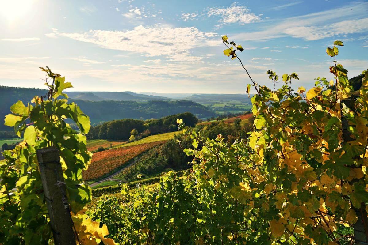 Weinreben in Bretzfeld Geddelsbach