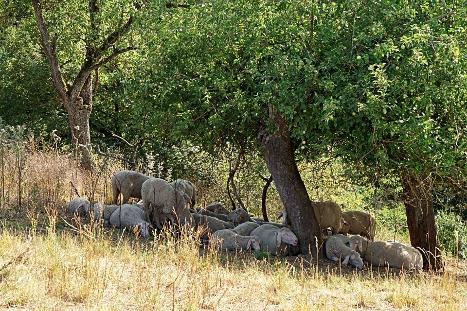 Schafe im Jagsttal in Hohenlohe