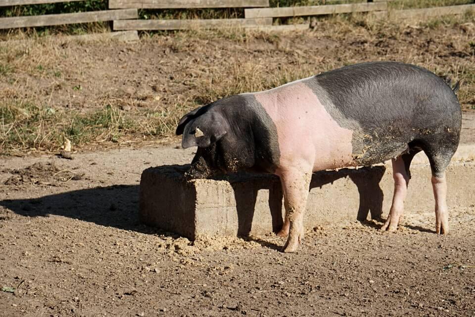 Schwaebisch Haellisches Landschwein im Freilandmuseum Wackershofen