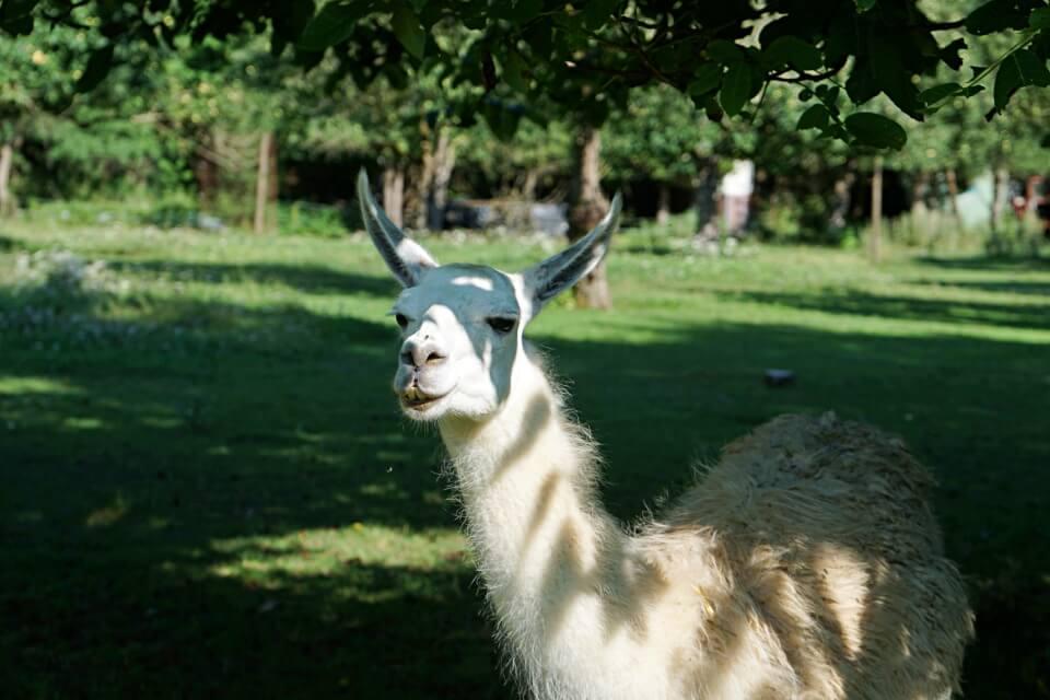 Lama auf der Jagsttalranch Gerabronn