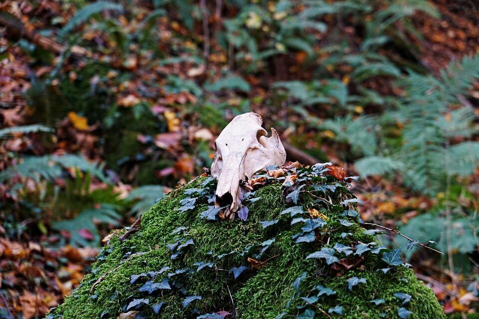 Schaedel im Mainhardter Wald