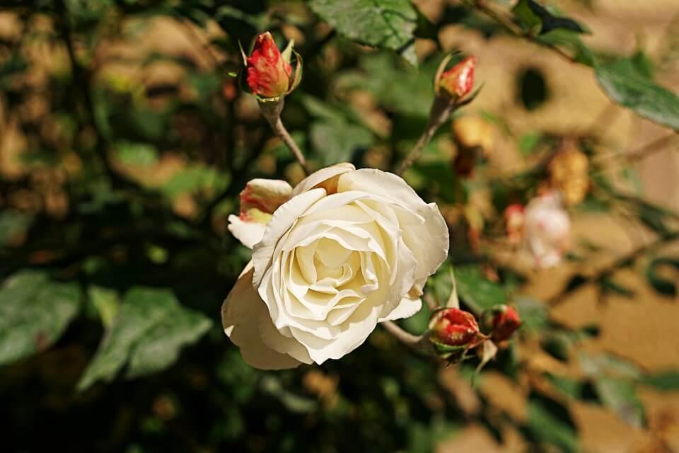 Die weisse Rose auf dem Hans und Sophie Scholl Pfad in Forchtenberg