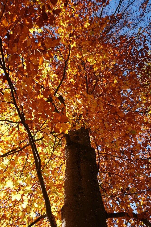 Herbstlich bunter Baum auf unserer Wanderung durch das Kupfertal in Hohenlohe