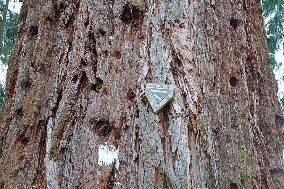 Mammutbaum in Wuestenrot