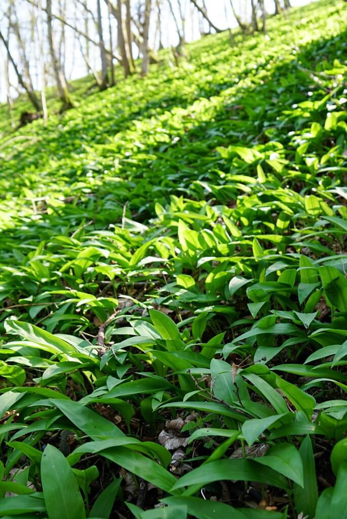 Baerlauch auf dem Natura Trail Krautheim