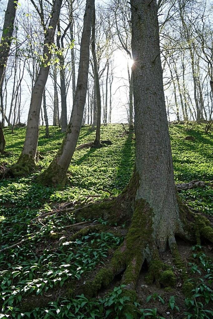 Baerlauch auf dem Natura Trail im Jagsttal